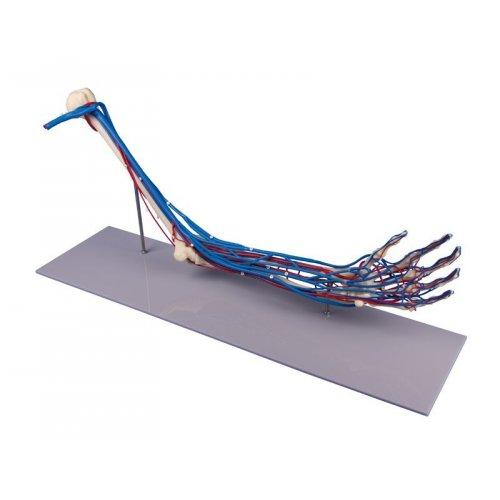 Model horní končetiny s cévami