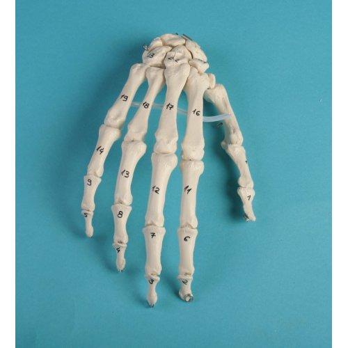 Model lidské ruky s očíslovanými kostmi