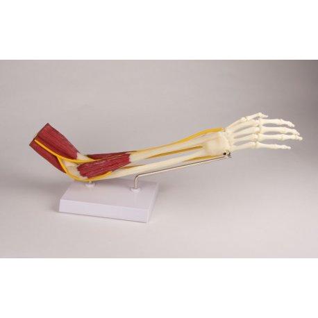 Model lidského loketního kloubu se svaly