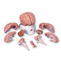 Model lidského mozku s tepnami - 9 částí