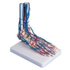 Model lidské nohy s cévami