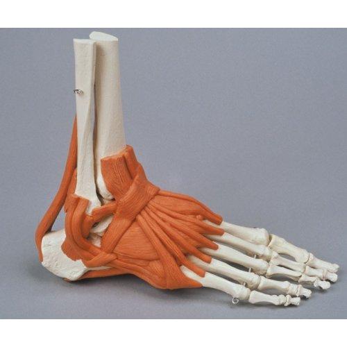 Model lidské nohy s vazy