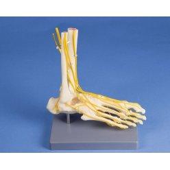Model lidské nohy s nervy