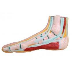 Model lidské nohy - normální