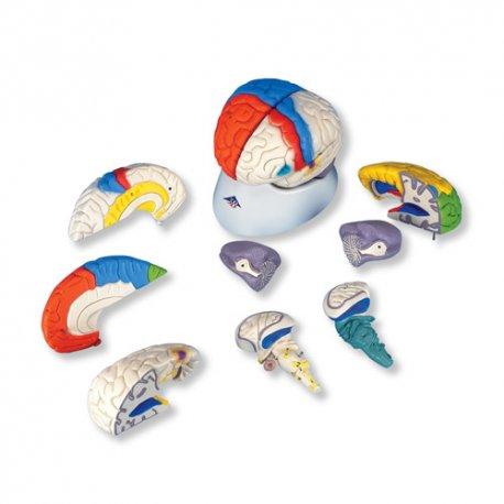 Mozek - neuroanatomický model - 8 částí