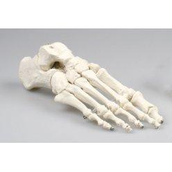 Model lidského chodidla