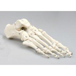 Model lidského chodidla - očíslovaný