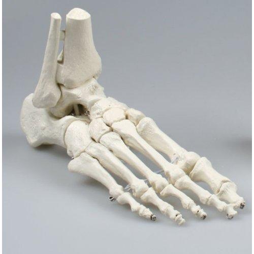Model lidského chodidla s částí holenní a lýtkové kosti