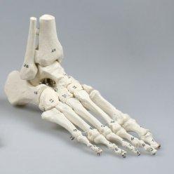 Model lidského chodidla - očíslovaný - s částí holenní a lýtkové kosti