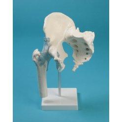 Model kyčelního kloubu s kostí křížovou a vazy
