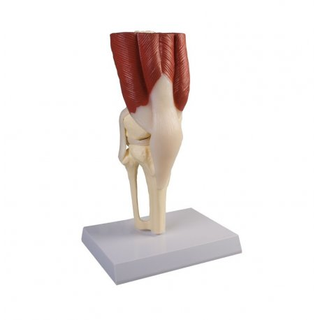 Model kolenního kloubu se svaly