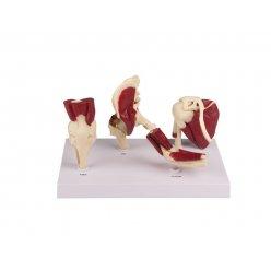 Mini model lidských kloubů se svaly