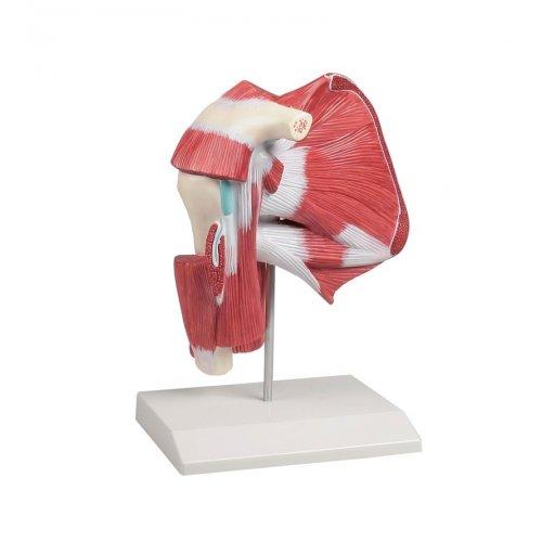 Model svalstva ramene s hlubokými svaly