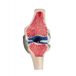 Model řezu kolenním kloubem