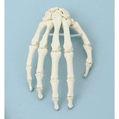 Model lidské ruky