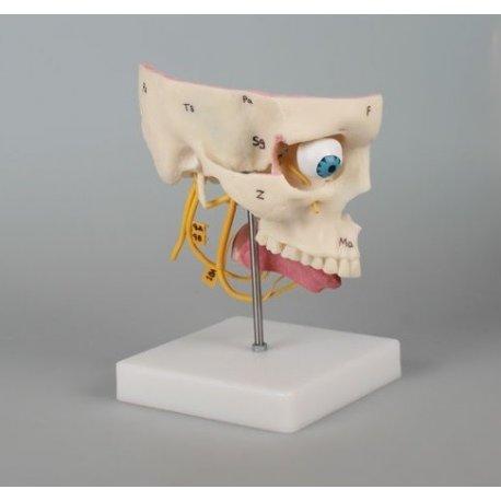 Model lidských smyslových orgánů
