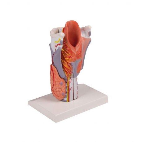 Model lidského hrtanu - 2x zvětšeno - 5 částí
