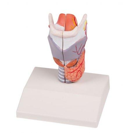 Model lidského hrtanu - životní velikost - 2 části