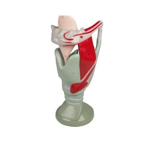 Model lidského hrtanu - funkční - 4x zvětšeno