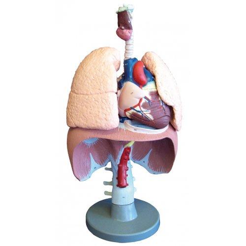 Model lidských dýchacích orgánů