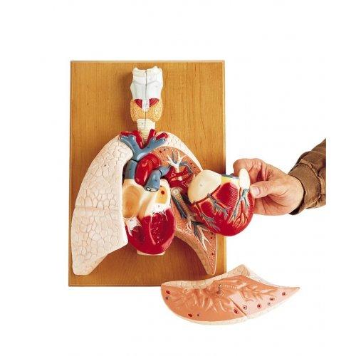 Model lidských plic se srdcem