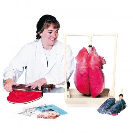 Demonstrativní model lidských plic