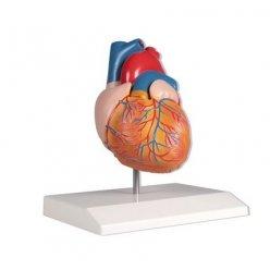 Model lidského srdce - přirozená velikost - 2 části
