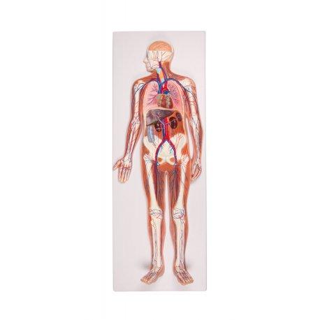 Model lidského krevního oběhu - 2 části - poloviční velikost