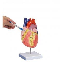 Model lidského srdce - dvakrát zvětšeno - 2 části
