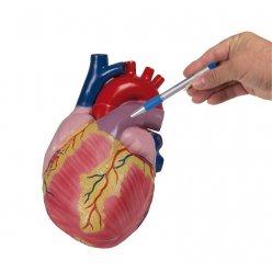 Velký model lidského srdce - třikrát zvětšeno - 2 části