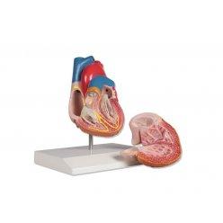 Model lidského srdce s převodním systémem srdečním