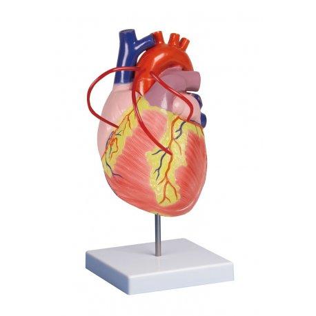 Model lidského srdce s bypassem