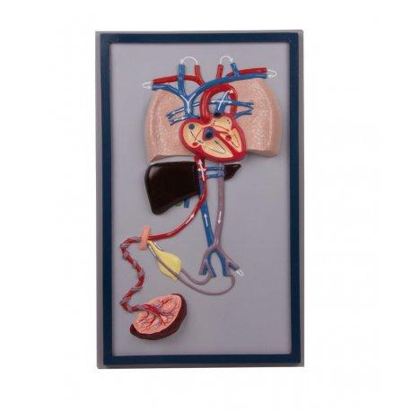 Model krevního oběhu lidského plodu