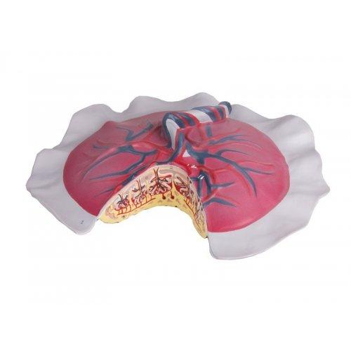 Model krevního oběhu placentou
