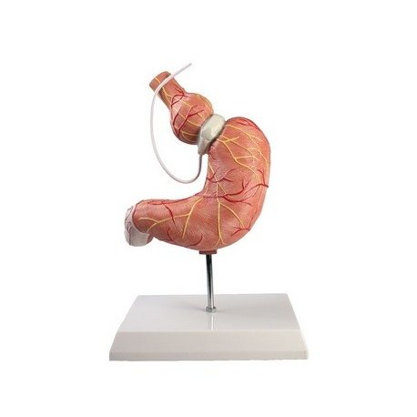 Model lidského žaludku s bandáží