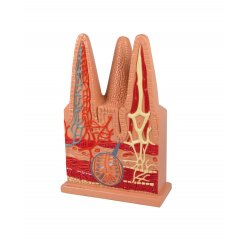 Model střevních klků - stokrát zvětšeno