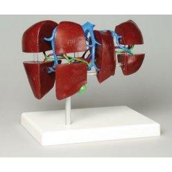 Model lidských jater - rozdělený na segmenty