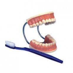 Model péče o lidské zuby - obří