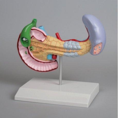 Model onemocnění slinivky, žlučníku a sleziny