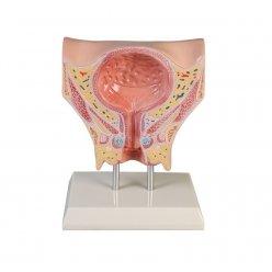 Model močového měchýře - ženský