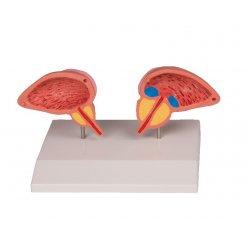 Model žlázy předstojné - prostaty