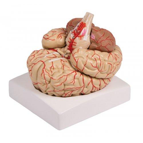 Model lidského mozku - 9 částí - s cévami