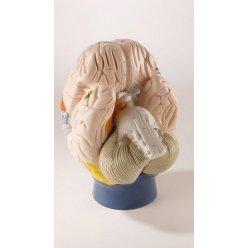 Neurologický model mozku - 4 části - dvakrát zvětšeno