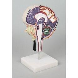 Model cirkulace mozkomíšního moku