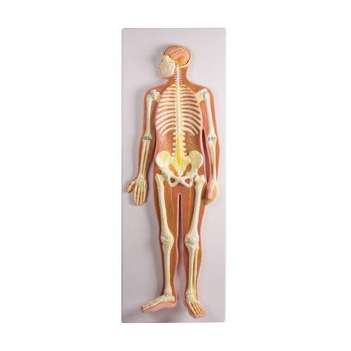 Model nervového systému v poloviční velikosti