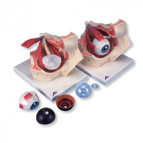 Model oka - třikrát zvětšeno - 7 částí