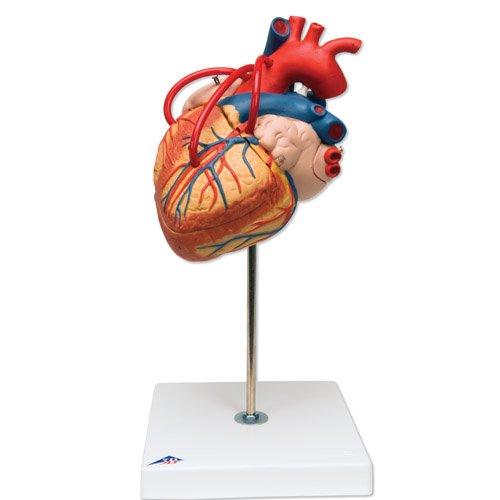 Model lidského srdce s bypassem - 4 části