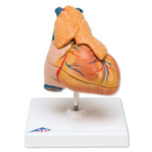 Model lidského srdce s brzlíkem - 3 části