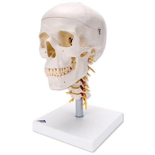 Model lidské lebky na krční páteři - 4 části