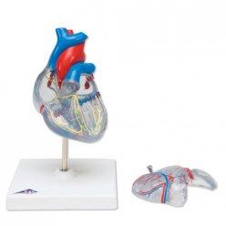 Model lidského srdce s převodním systémem srdečním - 2 části